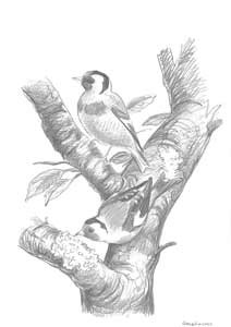 Artwork of goldfinches, by Rob Hume, from Birds in a Cage by Derek Niemann