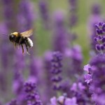 Summer lavender (and a bee)