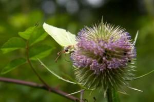 Female brimstone butterfly, feeding on teasel flowers