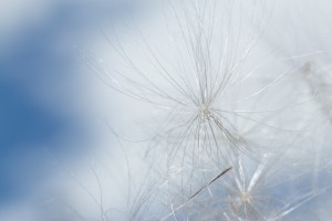 Thistledown against a blue sky at Ouse Fen, Cambridgeshire