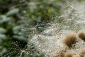 Thistledown breaks free at Ouse Fen, Cambridgeshire