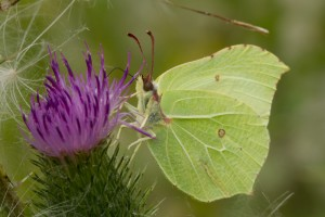 A male brimstone butterfly feeds on a thistle at Ouse Fen, Cambridgeshire