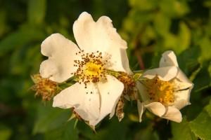 wild rose at Waresley